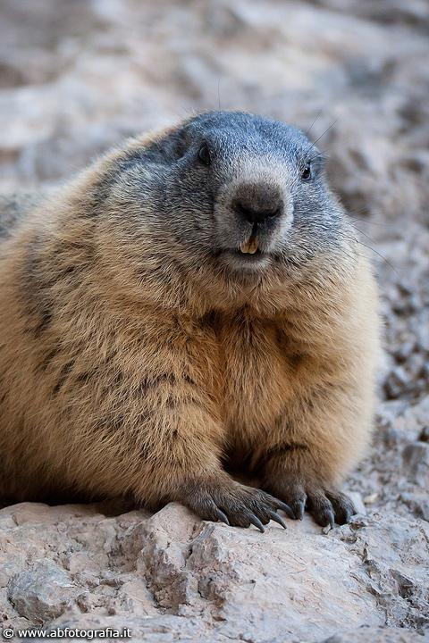 Marmotta (Marmota marm...